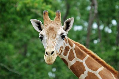 Giraffe Face Art Print by Teresa Blanton
