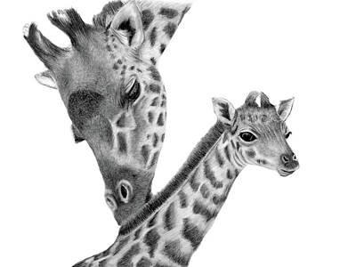Drawing - Giraffe Family by Claire Fagan