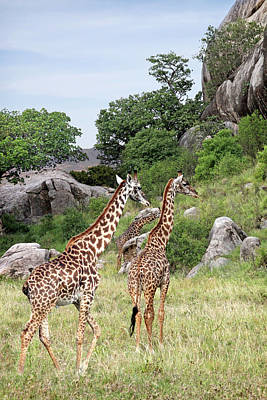 Photograph - Giraffe Family In Africa by Gill Billington