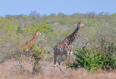 Photograph - Giraffe Family On Safari by Jeff at JSJ Photography