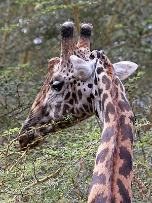 Photograph - Giraffe Feeding by Gill Billington
