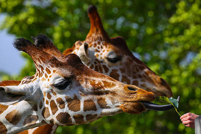 Photograph - Giraffe Feeding Time by Dart and Suze Humeston