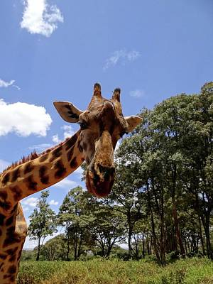 Exploramum Photograph - Giraffe Getting Personal 4 by Exploramum Exploramum