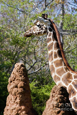 Photograph - Giraffe Head by Jill Lang
