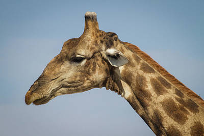 Photograph - Giraffe II by Randy Green