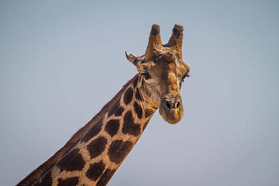 Photograph - Giraffe IIi by Randy Green