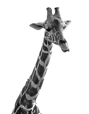 Photograph - Giraffe In Black And White 3 by James Sage