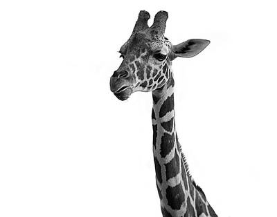 Photograph - Giraffe In Black And White by James Sage