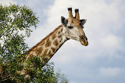 Photograph - Giraffe In Manyeleti Game Reserve by Rob Huntley
