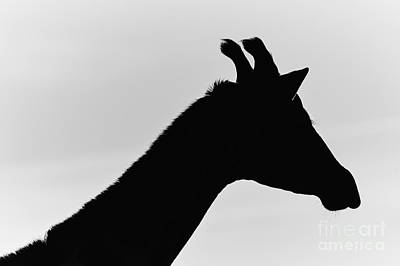 Photograph - Giraffe In Monochrome by Nick Biemans