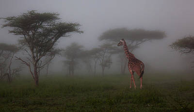 Photograph - Giraffe In The Midst by Helene Wallaert and Remy Simon