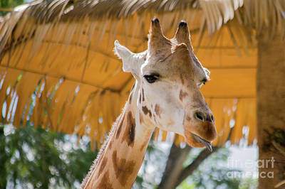 Photograph - Giraffe In The Zoo. by Cesar Padilla