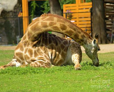 Photograph - Giraffe by Irina Afonskaya