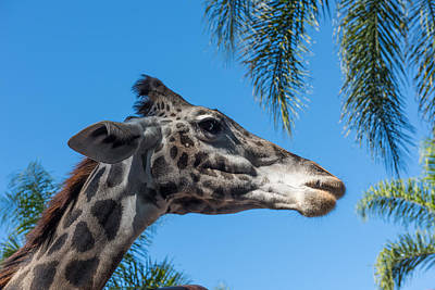 Photograph - Giraffe by John Johnson