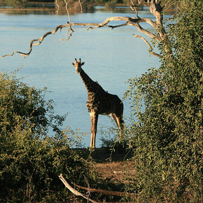 Photograph - Giraffe by Karen Zuk Rosenblatt