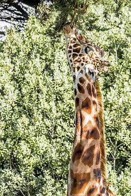 Photograph - Giraffe by Kate Brown