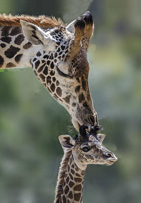 Photograph - Giraffe Kissing Her Calf by William Bitman