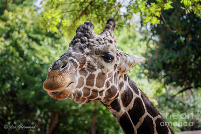 Photograph - Giraffe by Les Greenwood