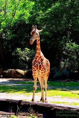 Photograph - Giraffe by Lisa Wooten