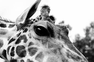Photograph - Giraffe Looking by Tammy Ray