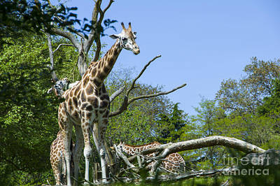 Photograph - Giraffe by Louise Magno