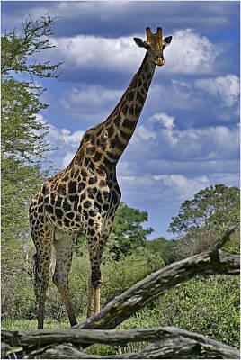 Giraffe Art Print by Mario De Matos