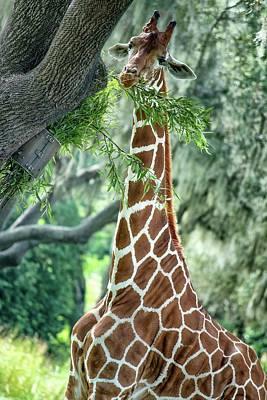 Photograph - Giraffe  by Mike Sperduto