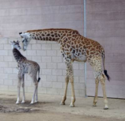 Photograph - Giraffe Mother Baby Sd Zoo 1015 3 by Phyllis Spoor