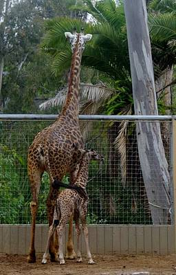 Photograph - Giraffe Mother's Love Sd Zoo 2015 by Phyllis Spoor