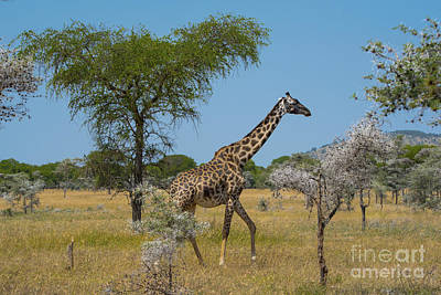 Landscape Photograph - Giraffe On The Move by Pravine Chester