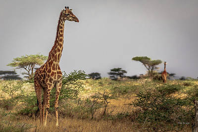 Photograph - Giraffe On The Serengeti by Tim Bryan