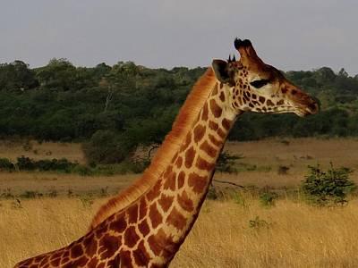 Exploramum Wall Art - Photograph - Giraffe On The Side by Exploramum Exploramum