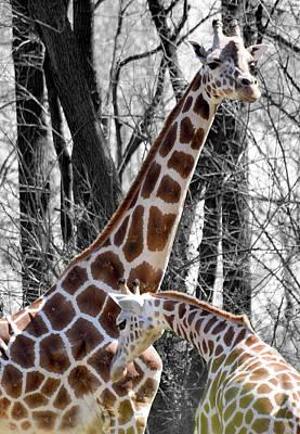 Photograph - Giraffe One by Joseph Hedaya