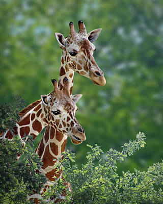 Photograph - Giraffe Pair by Nikolyn McDonald