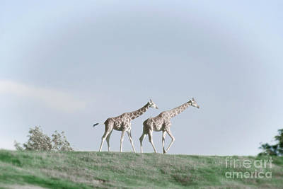 Photograph - Giraffe Pair On Hill by Jim And Emily Bush