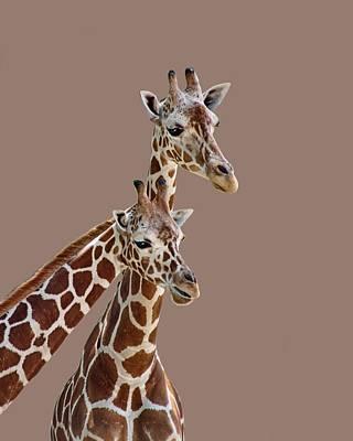 Photograph - Giraffe Pair - Transparent by Nikolyn McDonald