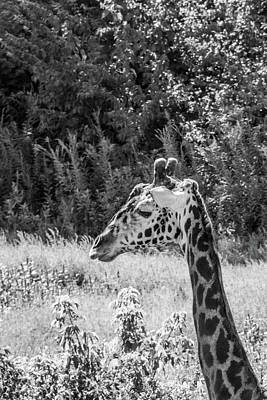 Photograph - Giraffe by Pamela Williams