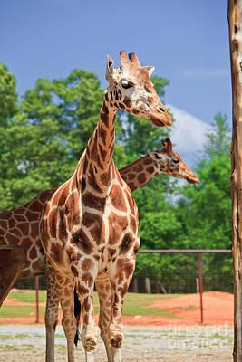 Photograph - Giraffe Park by Jill Lang