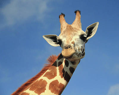Photograph - Giraffe Portrait by Angela Murdock