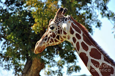 Photograph - Giraffe Portrait by Inspirational Photo Creations Audrey Woods
