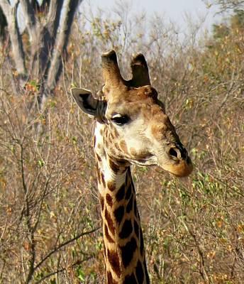 Photograph - Giraffe Portrait by Jennifer Wheatley Wolf