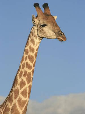 Photograph - Giraffe Portrait by Karen Zuk Rosenblatt