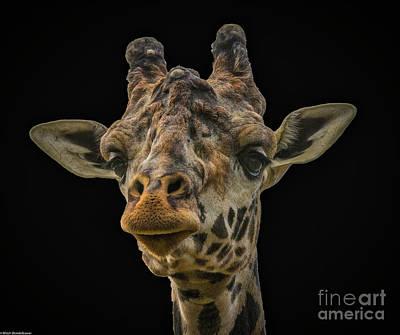 Photograph - Giraffe Portrait by Mitch Shindelbower
