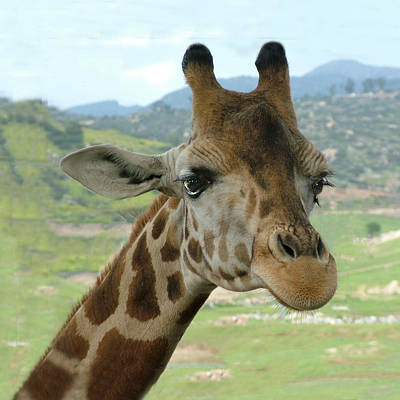 Photograph - Giraffe Portrait by William Bitman