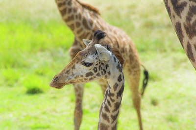 Photograph - Giraffe Posing by Shannon Harrington