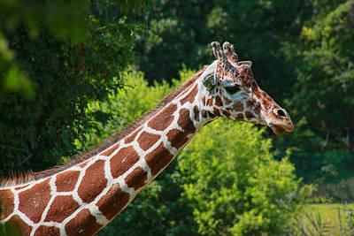 Photograph - Giraffe Profile by Allen Beatty