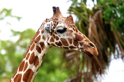 Photograph - Giraffe Profile by John Rizzuto