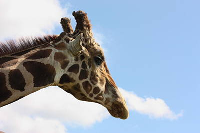 Giraffe Photograph - Giraffe Profile by Sheila Brown