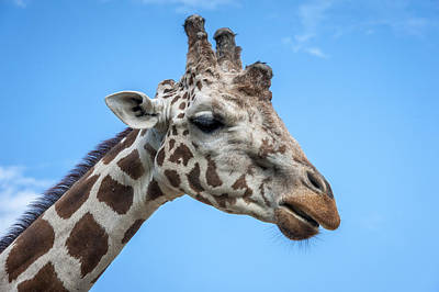 Photograph - Giraffe Profile by Tyson Smith