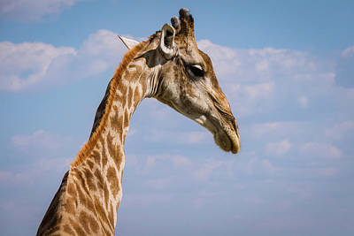 Photograph - Giraffe by Randy Green